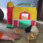 Feedind Baby Chicks