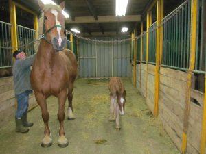 belgian breeding in southern ontario