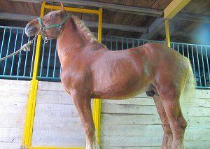 belgian horse breeding